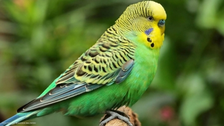 budgie - budgie, bird, branch, animal