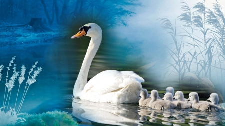 Swan Babies - pond, pen, bird, babies, cygnets, mother, swans, lake