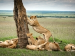 Lion and his Pride, Kenya, Africa