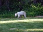 Albino Black Bear