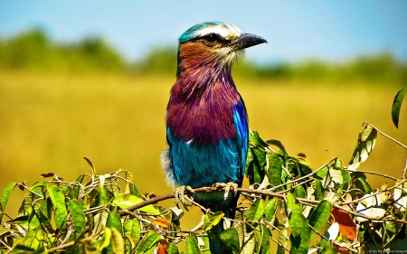 lilac breasted roller - Field, Bird, Colorful, Nature