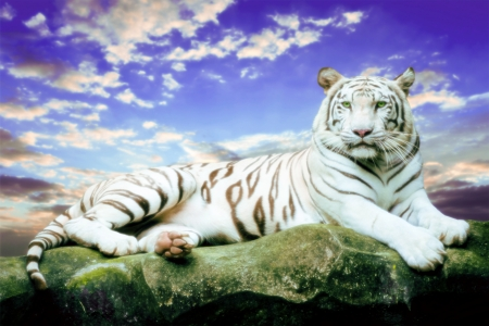 White Tiger - Tiger, Animals, White Tiger, Cat, Nature