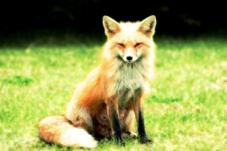 Fantastic Mr Fox - Beautiful, Fox, Nature, Animals, Cute