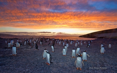 gentoo penguins colony sunset. - sunset, group, snow, penguins