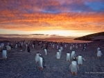 gentoo penguins colony sunset.