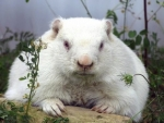 Albino Groundhog Wiarton Willy
