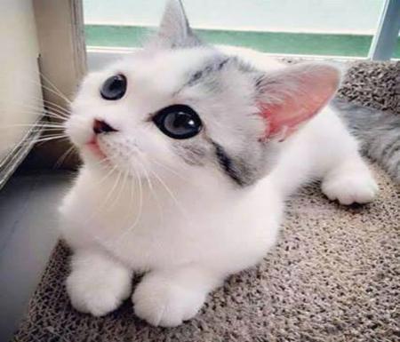 Blue Eyed Baby Cats Animals Background Wallpapers On Desktop Nexus Image 2416122
