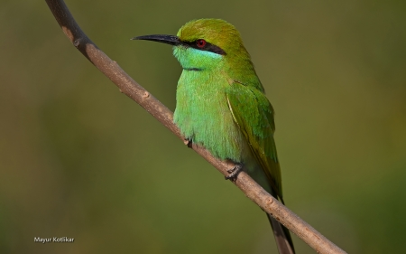 green bee eater - cute, branch, bird, green