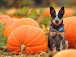 Dog with Autumn  Pumpkins