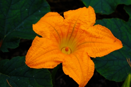 Pumpkin flower - Yellow, Black, Green, Orange