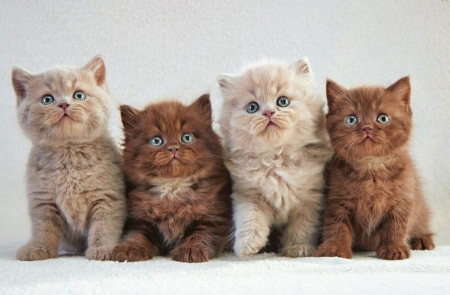 four musketeers - kittens, four, cats, animals, muskteers
