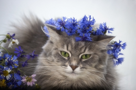 Cat - cornflower, daykiney, face, cat, pisici, blue, wreath, cute, vara, summer