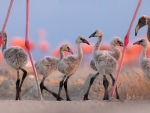 American Flamingo Chicks at the Ria Lagartos Biosphere Reserve Yucatan Peninsula Mexico