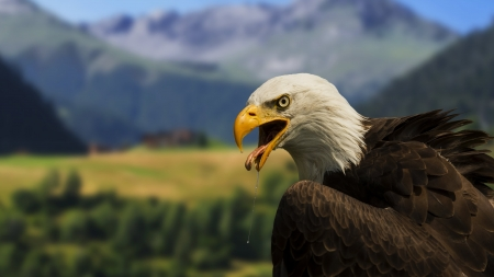 Bald Eagle - raptor, head, bird, mountains, wilderness