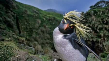 Northern crested penguin - funny, bird, wind, penguin, pinguin