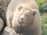 Albino Grizzly  Bear