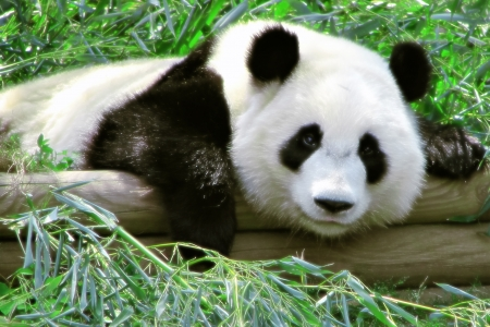 Tired Panda - Sleepy, Bear, Panda, Cute, Animal, Nature