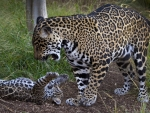 Jaguar Cub playing with Mom