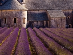 Blooming Field Of Lavender At Senanque Abbey Gordes France