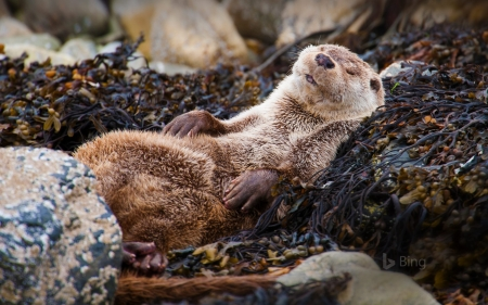 Eurasian Otter Chillaxin In Shelland Scotland Other