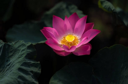 Pink Lotus - Pretty, Pink, Lotus, Flowers