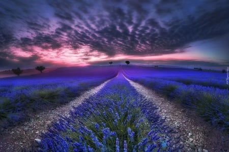 lavender field - flowers, lavender, beautiful, nature, fields, clouds, sky