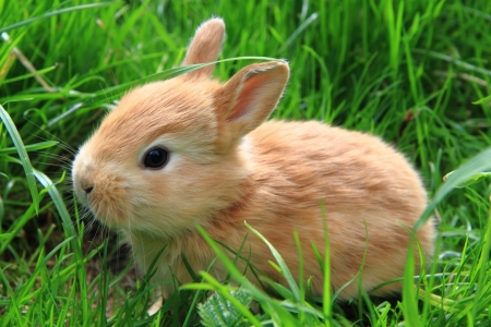 Bunny - animal, cute, rabbit, green, grass, bunny, rodent