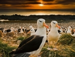 Black Browed ROW Albatrosses