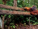 Orangutan on a Bench