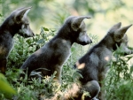 Mexican Gray Wolf Pups