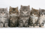 fivr cute Persian kittens