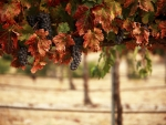 Vineyard Grapes in Autumn