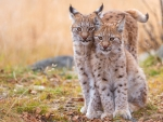Young Lynx Couple