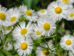 Pretty daisies-asters