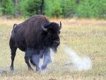 United States Of America Bison Bull