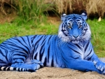 Lovely Blue Tiger