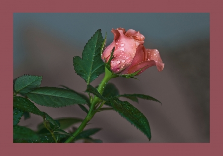 Rainy Coral Rose - 2326x1636, high resolution, rose, rain drops, coral, framed, veined, delicate, bud, elegant, pinkish, leaves, green, peach, petite, stem