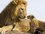 Lion Father and Son