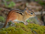 Chipmunk on Moss