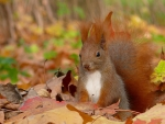 Squirrel in Autumn