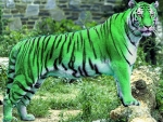 Beautiful Green Tiger