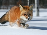 A Lone Red Fox In The Snow