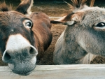 Brown And Grey Donkeys