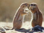 South African Chipmunks