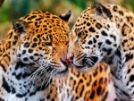 Jaguars in Love