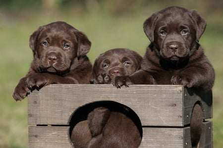 Brown puppies - loyal, dog, puppy, animal