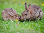 European  Rabbits Bunnies In Grass