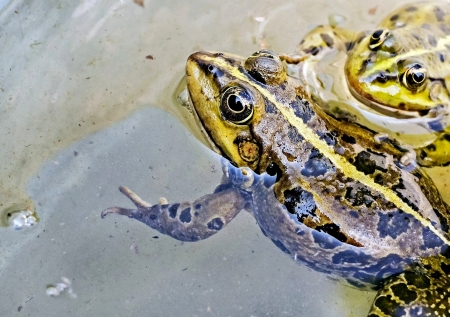 Green Frog In Water - Water, Frogs, Green, Animals