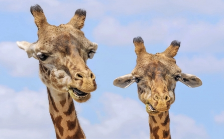 Looking Back At You - Cute, On Red lIst, Clouds, Sky, Funny, Beautiful, Giraffes