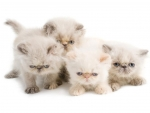four Persian kittens